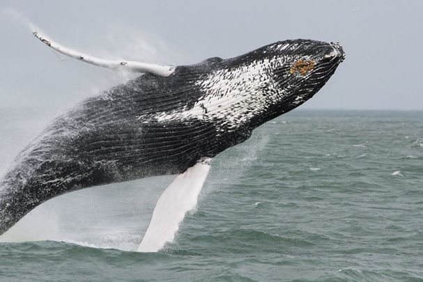 Mid-Atlantic Boaters: Watch out for Whales!