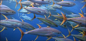 Yellowfin tuna school