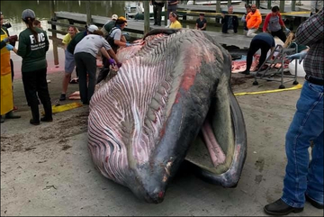 Stranded Bryde's Whale