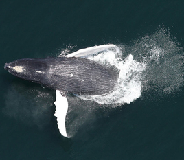 Humpback Whale Breach, NOAA Fisheries