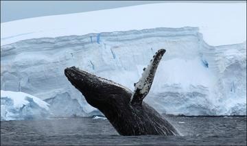 Arctic humpback