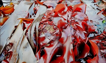 Alaska seaweed