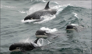 Mystery killer whales