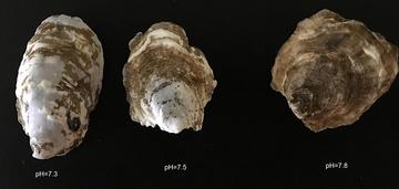 Changing Ocean Chemistry shellfish