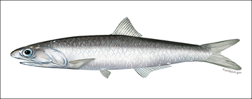 Northern Anchovy illustration