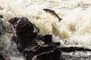 Atlantic salmon can leap up to 12 feet as they make their way upstream to their spawning grounds.