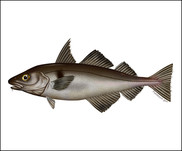 Haddock Illustration new