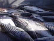 NOAA Fisheries Striped Bass