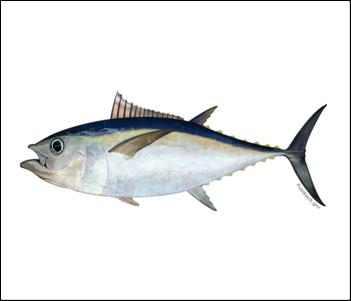 Pacific Bigeye Tuna illustration