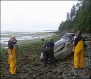Gray whale carcass on beach