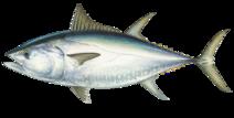 Bluefin tuna illustration