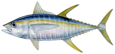 Yellowfin tuna illustration