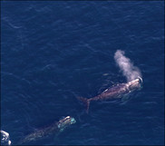 North Atlantic right whales aerial view