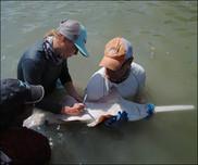 tagging sawfish