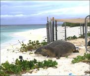 Laysan Island monk seals