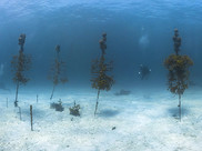 A NOAA underwater coral nursery - young corals grow on artificial structures before planting them on reefs.