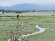 View from a hill of a channel winding through an estuary. A bald eagle perches on a tree branch.