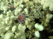 A small sea urchin rests on coral, eating algae.