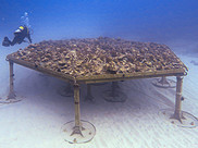A diver swims next to a large flat structure holding fragments of corals.