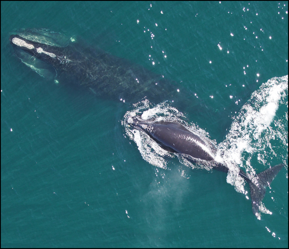 Right whales aerial view
