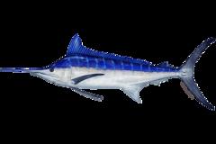 Illustration of billfish