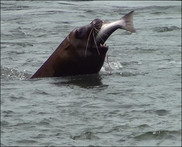 Sea lion eating salmon USACE