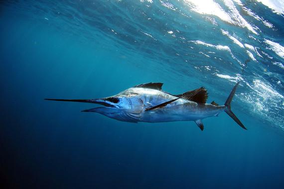 Sailfish swimming underwater