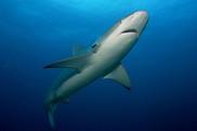 sustainable shark