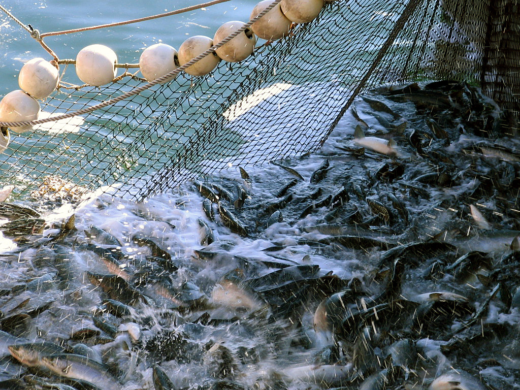 Fishing net partially in the water full of fish from Kodiak, Alaska.