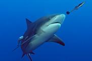 shark quotas