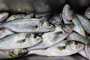 Bluefish, Pomatomus saltatrix. Photo: NOAA Fisheries