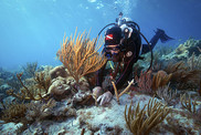 A diver attaches a coral fragment to a reef (Credit: Reef Resilience Network)