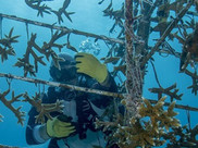ORCE BLUE divers underwater with scientists restoring corals.