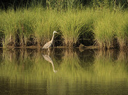 A crane walks along tall grasses in a wetland.