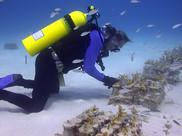 Coral restoration in the Florida Keys.