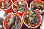American Lobster, NOAA Fisheries