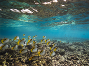Butterfly fish swimming above a coral reef.