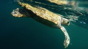 A tagged loggerhead near the ocean surface after release. NOAA Fisheries