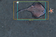 HabCam image of a skate, NEFSC, NOAA Fisheries