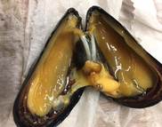 A dissected blue mussel (Mytilus edulis), showing the gills adhering to the inside of the shell. Photo: NOAA Fisheries