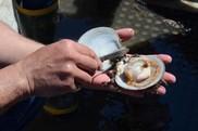 Sea scallop, noaa fisheries