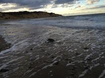 sea turtle washing up on beach