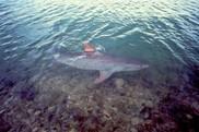 A tiger shark swims near the ocean surface.