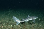 Spiny dogfish have little consumer demand in the U.S. They are a major seafood export to Europe. NOA Fisheries