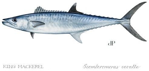 King mackerel drawing