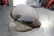 Paper Nautilus, NOAA Fisheries