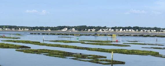 Oyster bags on an oyster farm in Plymouth, Massachusetts.