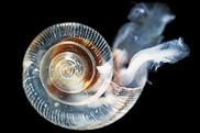 planktonic snail, noaa climate office, NOAA Fisheries