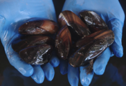 Mussels at Milford Lab, NEFSC