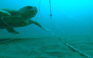 Turtle low profile gillnet study by NEFSC